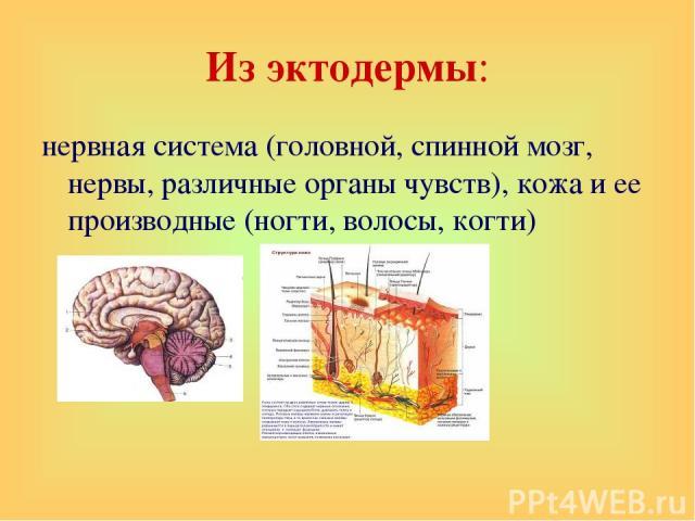 Из эктодермы: нервная система (головной, спинной мозг, нервы, различные органы чувств), кожа и ее производные (ногти, волосы, когти)