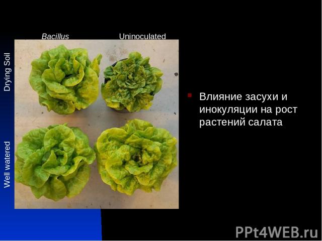 Влияние засухи и инокуляции на рост растений салата