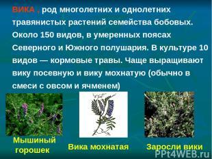 Заросли вики Мышиный горошек Вика мохнатая ВИКА , род многолетних и однолетних т