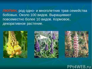 ЛЮПИН, род одно- и многолетних трав семейства бобовых. Около 100 видов. Выращива