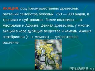 АКАЦИЯ, род преимущественно древесных растений семейства бобовых. 750 — 800 видо