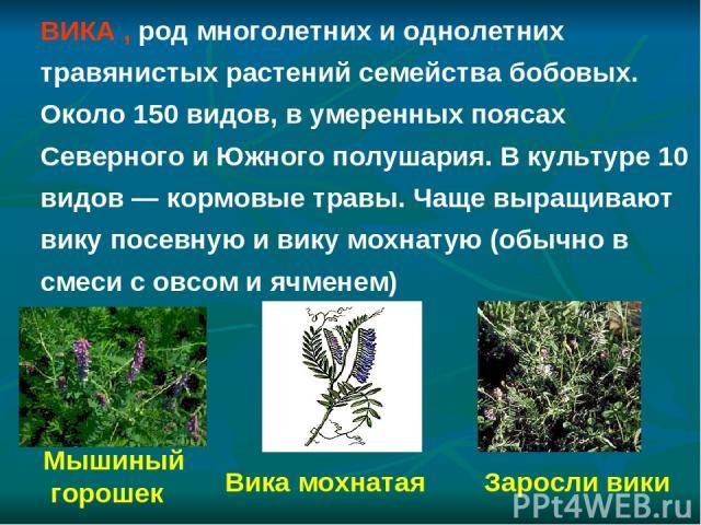 Заросли вики Мышиный горошек Вика мохнатая ВИКА , род многолетних и однолетних травянистых растений семейства бобовых. Около 150 видов, в умеренных поясах Северного и Южного полушария. В культуре 10 видов — кормовые травы. Чаще выращивают вику посев…