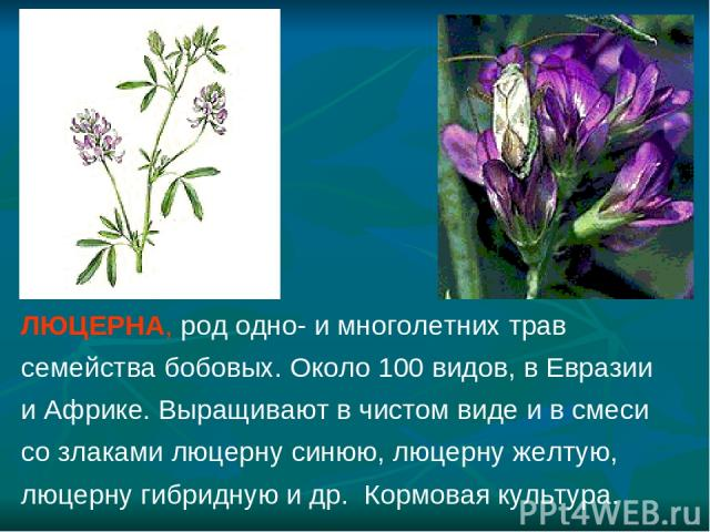 ЛЮЦЕРНА, род одно- и многолетних трав семейства бобовых. Около 100 видов, в Евразии и Африке. Выращивают в чистом виде и в смеси со злаками люцерну синюю, люцерну желтую, люцерну гибридную и др. Кормовая культура.