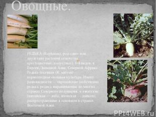 Редька. Овощные. РЕДЬКА (Raphanus), род одно- или двулетних растений семейства к