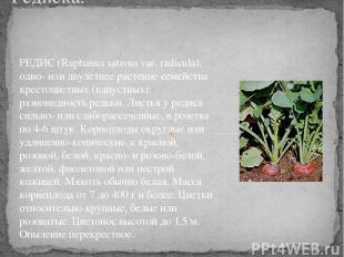 Редиска. РЕДИС (Raphanus sativus var. radicula), одно- или двулетнее растение се