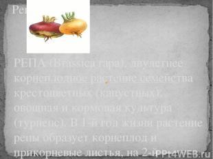 РЕПА (Brassica rapa), двулетнее корнеплодное растение семейства крестоцветных (к