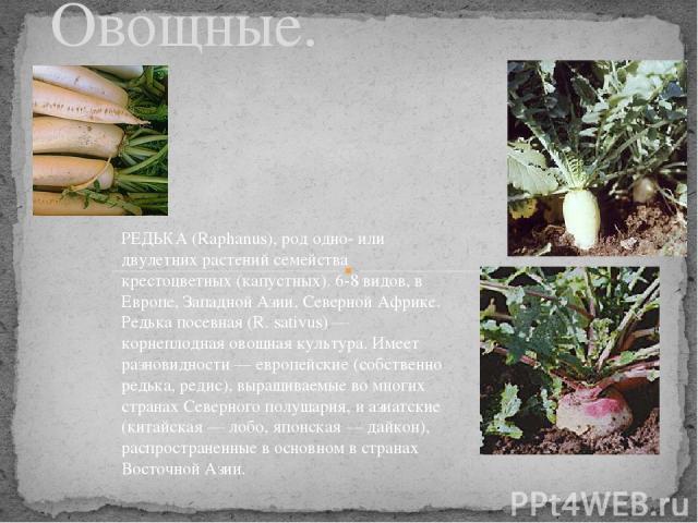 Редька. Овощные. РЕДЬКА (Raphanus), род одно- или двулетних растений семейства крестоцветных (капустных). 6-8 видов, в Европе, Западной Азии, Северной Африке. Редька посевная (R. sativus) — корнеплодная овощная культура. Имеет разновидности — европе…