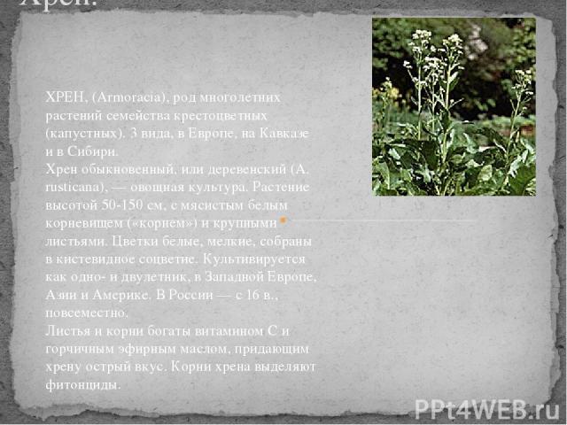 Хрен. ХРЕН, (Armoracia), род многолетних растений семейства крестоцветных (капустных). 3 вида, в Европе, на Кавказе и в Сибири. Хрен обыкновенный, или деревенский (A. rusticana), — овощная культура. Растение высотой 50-150 см, с мясистым белым корне…