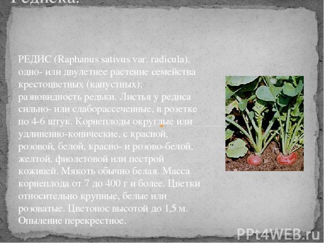 Редиска. РЕДИС (Raphanus sativus var. radicula), одно- или двулетнее растение семейства крестоцветных (капустных); разновидность редьки. Листья у редиса сильно- или слаборассеченные, в розетке по 4-6 штук. Корнеплоды округлые или удлиненно-конически…