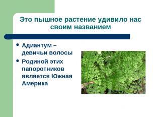 Это пышное растение удивило нас своим названием Адиантум – девичьи волосы Родино