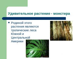 Удивительное растение - монстера Родиной этого растения являются тропические лес