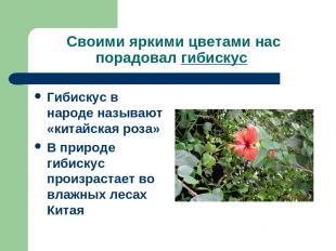 Своими яркими цветами нас порадовал гибискус Гибискус в народе называют «китайск