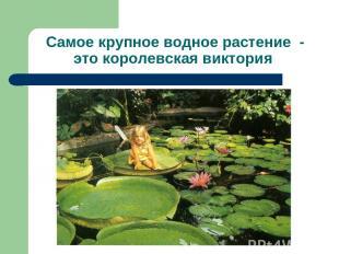 Самое крупное водное растение - это королевская виктория