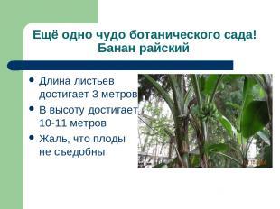 Ещё одно чудо ботанического сада! Банан райский Длина листьев достигает 3 метров