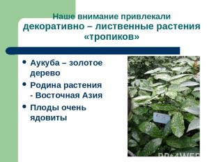 Наше внимание привлекали декоративно – лиственные растения «тропиков» Аукуба – з