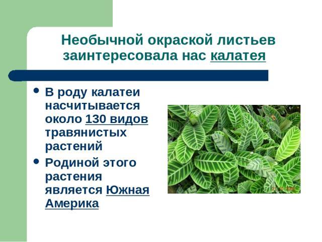 Необычной окраской листьев заинтересовала нас калатея В роду калатеи насчитывается около 130 видов травянистых растений Родиной этого растения является Южная Америка