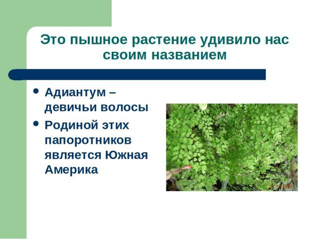 Это пышное растение удивило нас своим названием Адиантум – девичьи волосы Родиной этих папоротников является Южная Америка