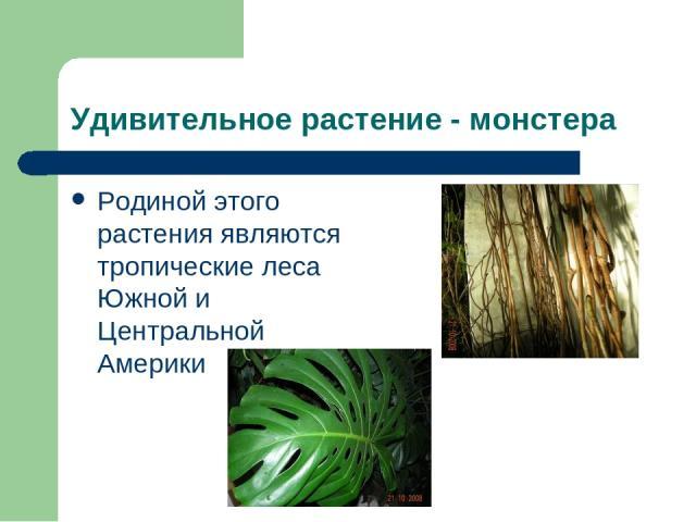 Удивительное растение - монстера Родиной этого растения являются тропические леса Южной и Центральной Америки