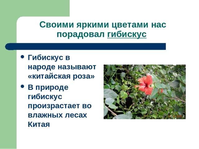 Своими яркими цветами нас порадовал гибискус Гибискус в народе называют «китайская роза» В природе гибискус произрастает во влажных лесах Китая