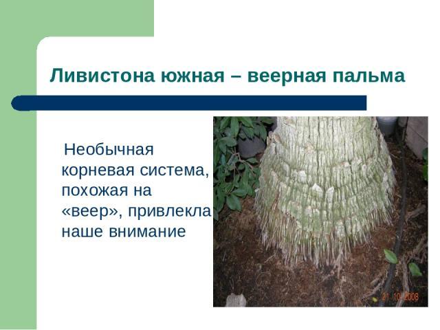 Ливистона южная – веерная пальма Необычная корневая система, похожая на «веер», привлекла наше внимание