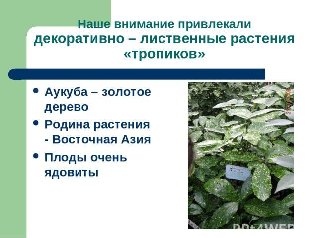 Наше внимание привлекали декоративно – лиственные растения «тропиков» Аукуба – золотое дерево Родина растения - Восточная Азия Плоды очень ядовиты