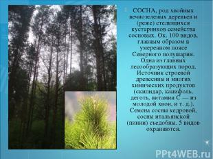 СОСНА, род хвойных вечнозеленых деревьев и (реже) стелющихся кустарников семейст