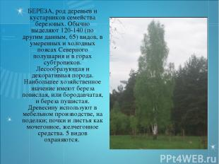 БЕРЕЗА, род деревьев и кустарников семейства березовых. Обычно выделяют 120-140