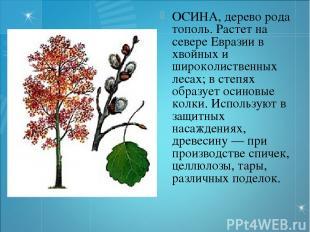 ОСИНА, дерево рода тополь. Растет на севере Евразии в хвойных и широколиственных