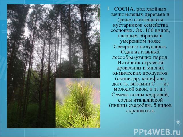 СОСНА, род хвойных вечнозеленых деревьев и (реже) стелющихся кустарников семейства сосновых. Ок. 100 видов, главным образом в умеренном поясе Северного полушария. Одна из главных лесообразующих пород. Источник строевой древесины и многих химических …