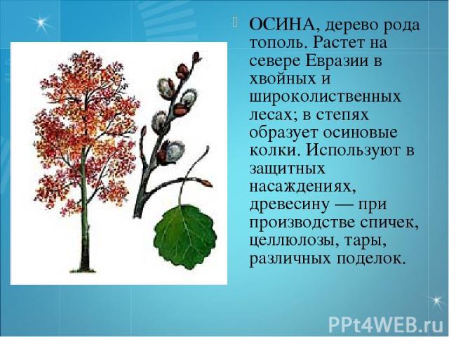 ОСИНА, дерево рода тополь. Растет на севере Евразии в хвойных и широколиственных лесах; в степях образует осиновые колки. Используют в защитных насаждениях, древесину — при производстве спичек, целлюлозы, тары, различных поделок.