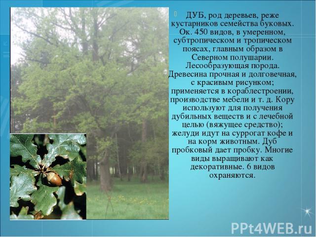 ДУБ, род деревьев, реже кустарников семейства буковых. Ок. 450 видов, в умеренном, субтропическом и тропическом поясах, главным образом в Северном полушарии. Лесообразующая порода. Древесина прочная и долговечная, с красивым рисунком; применяется в …