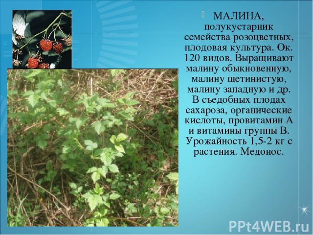 МАЛИНА, полукустарник семейства розоцветных, плодовая культура. Ок. 120 видов. Выращивают малину обыкновенную, малину щетинистую, малину западную и др. В съедобных плодах сахароза, органические кислоты, провитамин А и витамины группы В. Урожайность …