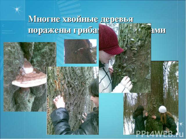 Многие хвойные деревья поражены грибами трутовиками