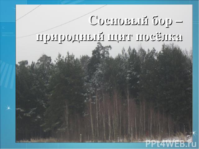 Сосновый бор – природный щит посёлка