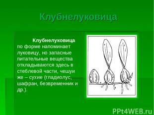 Клубнелуковица Клубнелуковица по форме напоминает луковицу, но запасные питатель
