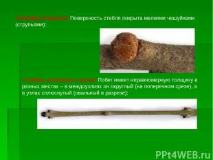 Чешуйки (струпья): Поверхность стебля покрыта мелкими чешуйками (струпьями): Сте