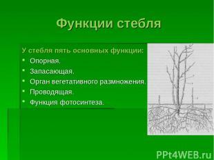 Функции стебля У стебля пять основных функции: Опорная. Запасающая. Орган вегета