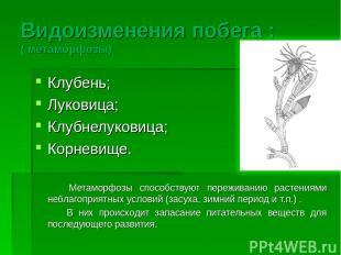 Видоизменения побега : ( метаморфозы) Клубень; Луковица; Клубнелуковица; Корневи