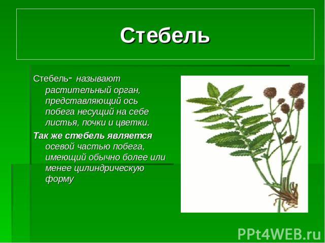 Стебель Стебель- называют растительный орган, представляющий ось побега несущий на себе листья, почки и цветки. Так же стебель является осевой частью побега, имеющий обычно более или менее цилиндрическую форму