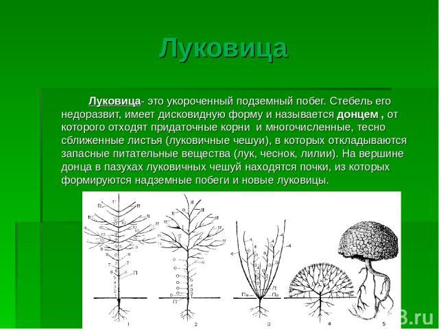 Луковица Луковица- это укороченный подземный побег. Стебель его недоразвит, имеет дисковидную форму и называется донцем , от которого отходят придаточные корни и многочисленные, тесно сближенные листья (луковичные чешуи), в которых откладываются зап…