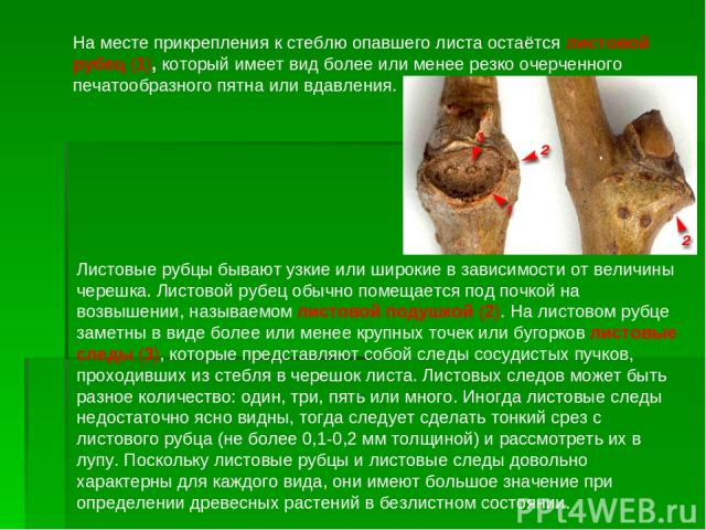 На месте прикрепления к стеблю опавшего листа остаётся листовой рубец (1), который имеет вид более или менее резко очерченного печатообразного пятна или вдавления. Листовые рубцы бывают узкие или широкие в зависимости от величины черешка. Листовой р…