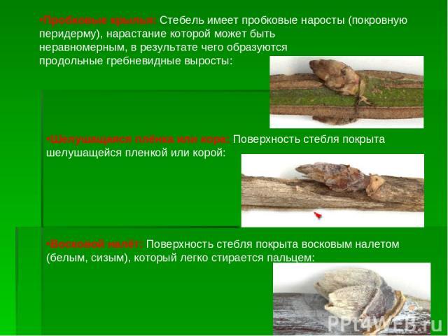 Пробковые крылья: Стебель имеет пробковые наросты (покровную перидерму), нарастание которой может быть неравномерным, в результате чего образуются продольные гребневидные выросты: Шелушащаяся плёнка или кора: Поверхность стебля покрыта шелушащейся п…