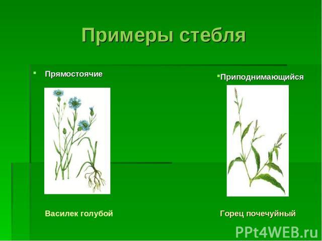 Примеры стебля Прямостоячие Приподнимающийся Горец почечуйный Василек голубой