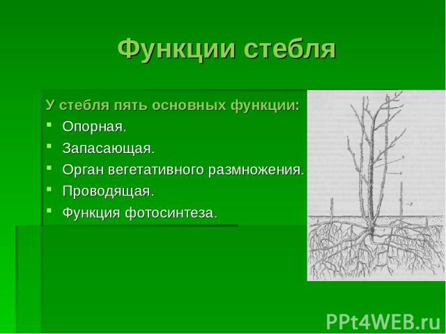 Функции стебля У стебля пять основных функции: Опорная. Запасающая. Орган вегетативного размножения. Проводящая. Функция фотосинтеза.
