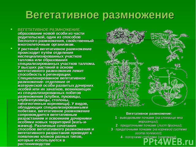 Вегетативное размножение ВЕГЕТАТИВНОЕ РАЗМНОЖЕНИЕ, образование новой особи из части родительской, один из способов бесполого размножения, свойственный многоклеточным организмам. У растений вегетативное размножение происходит путём отделения неспециа…