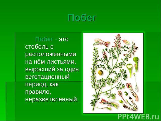 Побег Побег - это стебель с расположенными на нём листьями, выросший за один вегетационный период, как правило, неразветвленный.