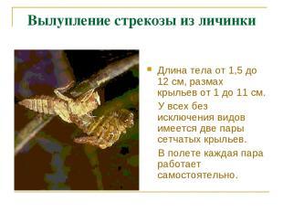 Вылупление стрекозы из личинки Длина тела от 1,5 до 12 см, размах крыльев от 1 д