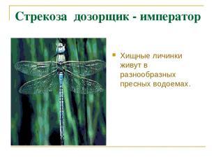 Стрекоза дозорщик - император Хищные личинки живут в разнообразных пресных водое