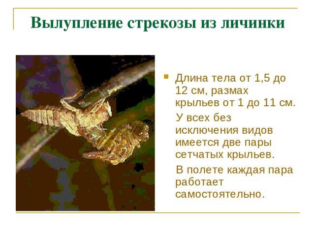 Вылупление стрекозы из личинки Длина тела от 1,5 до 12 см, размах крыльев от 1 до 11 см. У всех без исключения видов имеется две пары сетчатых крыльев. В полете каждая пара работает самостоятельно.
