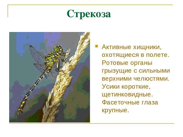 Стрекоза Активные хищники, охотящиеся в полете. Ротовые органы грызущие с сильными верхними челюстями. Усики короткие, щетинковидные. Фасеточные глаза крупные.